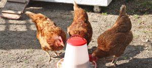Hühner in St. Hedwig